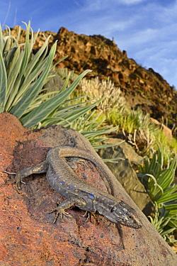 Southern Tenerife Lizard (Gallotia galloti galloti) sunning, Spain