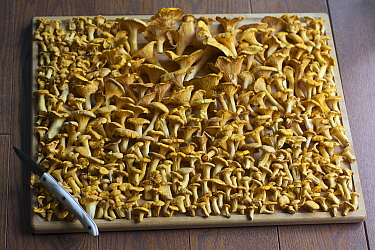 Chanterelle (Cantharellus cibarius) mushrooms, Quebec, Canada