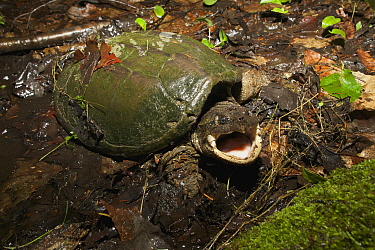 Snapping Turtle (Chelydra serpentina) in defensive posture, Quebec, Canada