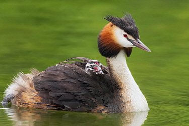Great Crested Grebe (Podiceps cristatus) parent with chick riding on back, Netherlands