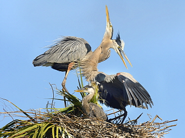 Great Blue Heron (Ardea herodias) parents bonding at nest with chick, Florida