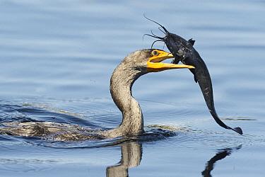 Double-crested Cormorant (Phalacrocorax auritus) with catfish prey, Florida