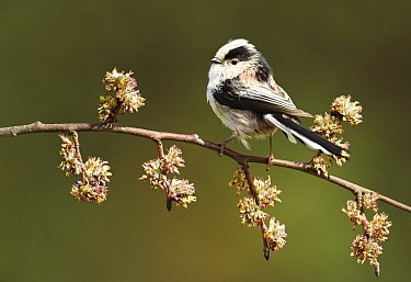 Long-tailed Tit (Aegithalos caudatus), Noord-Holland, Netherlands