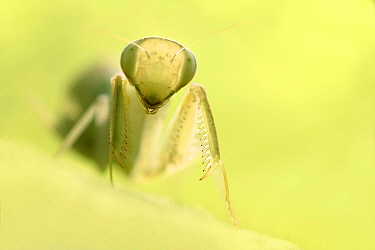 Congo Green Praying Mantis (Sphodromantis aurea), Zuid-Holland, Netherlands