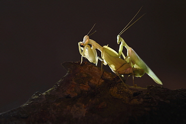 Congo Green Praying Mantis (Sphodromantis aurea) pair mating with female feeding to distract her from attacking male, Zuid-Holland, Netherlands