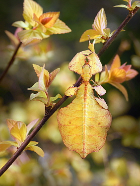 Giant Leaf Insect (Phyllium giganteum) camouflaged amongst leaves, Zuid-Holland, Netherlands