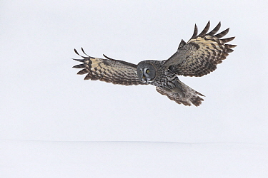 Great Gray Owl (Strix nebulosa) flying, Kuusamo, Finland