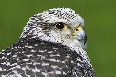 Gyrfalcon (Falco rusticolus) portrait, Netherlands