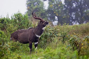 Mountain Nyala (Tragelaphus buxtoni) male, Bale Mountains National Park, Ethiopia