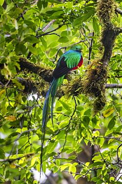 Resplendent Quetzal (Pharomachrus mocinno) male in cloud forest, Monteverde Cloud Forest Reserve, Costa Rica