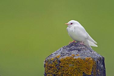 Barn Swallow (Hirundo rustica) albino fledgling, Wyns, Friesland, Netherlands