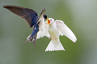 Barn Swallow (Hirundo rustica) parent feeding albino fledgling in flight, Wyns, Friesland, Netherlands