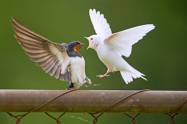 Barn Swallow (Hirundo rustica) parent feeding albino fledgling, Wyns, Friesland, Netherlands