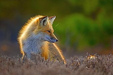 Red Fox (Vulpes vulpes), Island Beach State Park, New Jersey