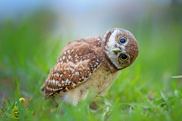 Burrowing Owl (Athene cunicularia) curious owlet, Cape Coral, Florida