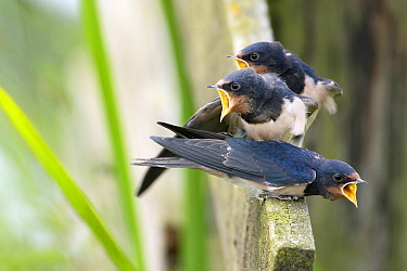Barn Swallow (Hirundo rustica) fledglings begging for food, Wyns, Friesland, Netherlands