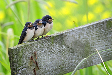 Barn Swallow (Hirundo rustica) fledglings, Wyns, Friesland, Netherlands