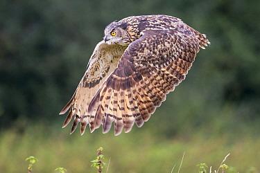 Eurasian Eagle-Owl (Bubo bubo) flying, Gloucestershire, England, United Kingdom