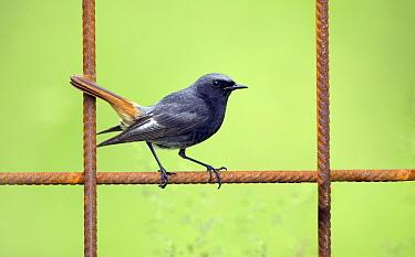Black Redstart (Phoenicurus ochruros) male perching on rusty fence, Noord-Holland, Netherlands