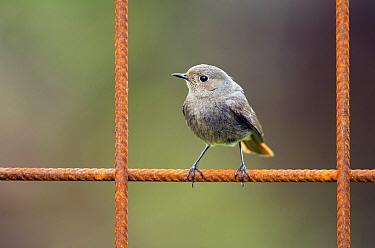 Black Redstart (Phoenicurus ochruros) female perching on rusty gate, Noord-Holland, Netherlands