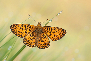 Small Pearl-bordered Fritillary (Boloria selene) butterfly, Overijssel, Netherlands
