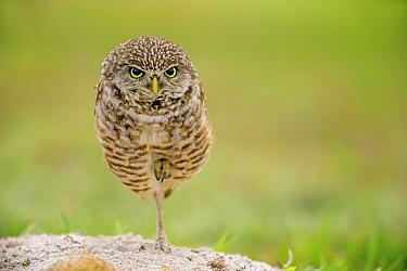 Burrowing Owl (Athene cunicularia) male balancing on one leg, Cape Coral, Florida