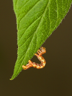 Mottled Umber (Erannis defoliaria) caterpillar, Devon, England, United Kingdom
