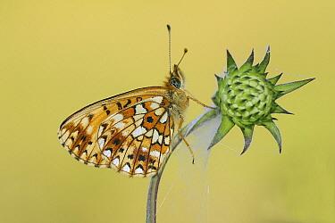 Small Pearl-bordered Fritillary (Boloria selene) butterfly, Overijssel, Netherlands