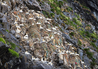 Northern Gannet (Morus bassanus) group nesting on marine debris and derelict nets in colony, Norway