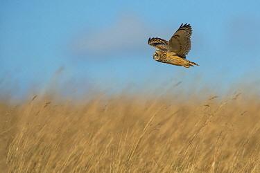 Short-eared Owl (Asio flammeus) flying, Gloucestershire, England, United Kingdom