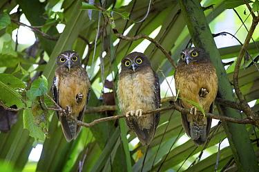Ochre-bellied Boobook (Ninox ochracea) trio, Tangkoko Nature Reserve, Sulawesi, Indonesia