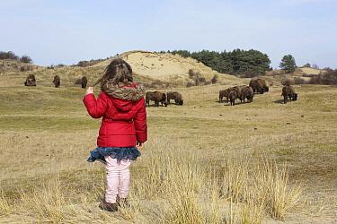 European Bison (Bison bonasus) herd grazing near girl, Noord-Holland, Netherlands
