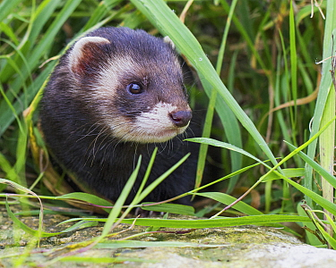 European Polecat (Mustela putorius), Devon, England, United Kingdom