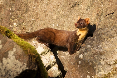 Pine Marten (Martes martes) male, Norway