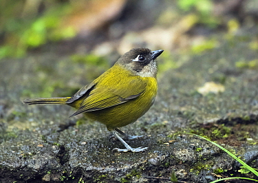 Common Bush-Tanager (Chlorospingus ophthalmicus), Monteverde Cloud Forest Reserve, Costa Rica