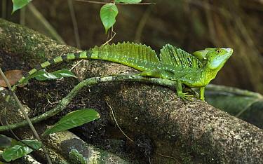 Green Basilisk (Basiliscus plumifrons) male, Tortuguero National Park, Costa Rica