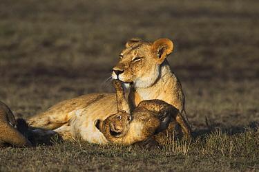 African Lion (Panthera leo) cub playing with mother, Masai Mara, Kenya