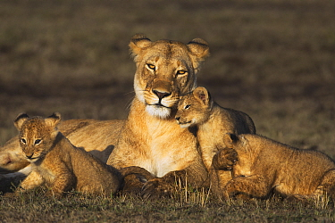 African Lion (Panthera leo) female with cubs, Masai Mara, Kenya