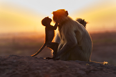 Southern Plains Gray Langur (Semnopithecus dussumieri) female with young, Jodhpur, Rajasthan, India