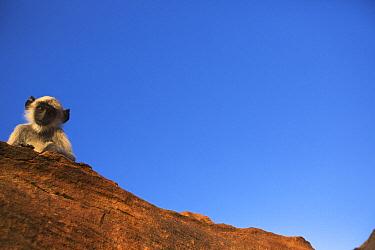 Southern Plains Gray Langur (Semnopithecus dussumieri) juvenile peering over cliff, Jodhpur, Rajasthan, India