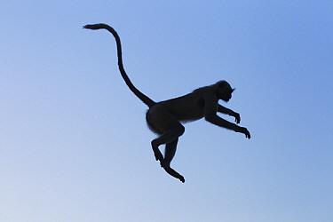 Southern Plains Gray Langur (Semnopithecus dussumieri) jumping, Jodhpur, Rajasthan, India