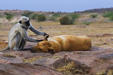 Southern Plains Gray Langur (Semnopithecus dussumieri) female grooming Domestic Dog (Canis familiaris), Jodhpur, Rajasthan, India