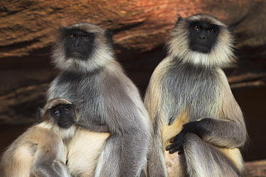Southern Plains Gray Langur (Semnopithecus dussumieri) females, one with yearling young nursing, Jodhpur, Rajasthan, India