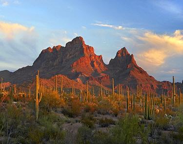 Cactii in desert, Ajo Mountains, Organ Pipe Cactus National Monument, Arizona