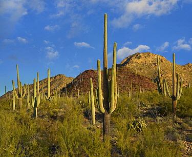 Saguaro (Carnegiea gigantea) cactii in desert, Tucson Mountains, Saguaro National Park, Arizona