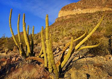 Organ Pipe Cactus (Stenocereus thurberi), Ajo Mountains, Organ Pipe Cactus National Monument, Arizona