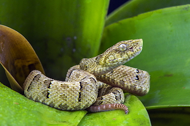 Osborne's Lancehead (Bothrops osbornei) juvenile showing differently colored tail tip used for caudal luring, native to South America