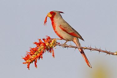 Pyrrhuloxia (Cardinalis sinuatus) male feeding on Ocotillo (Fouquieria splendens) flowers, southern Arizona