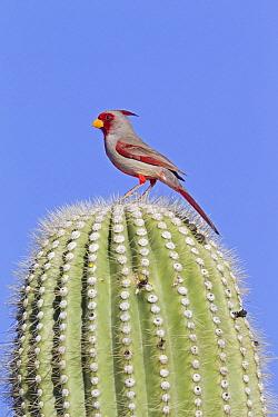 Pyrrhuloxia (Cardinalis sinuatus) male atop a cactus, southern Arizona