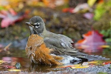 American Robin (Turdus migratorius) bathing, western Montana